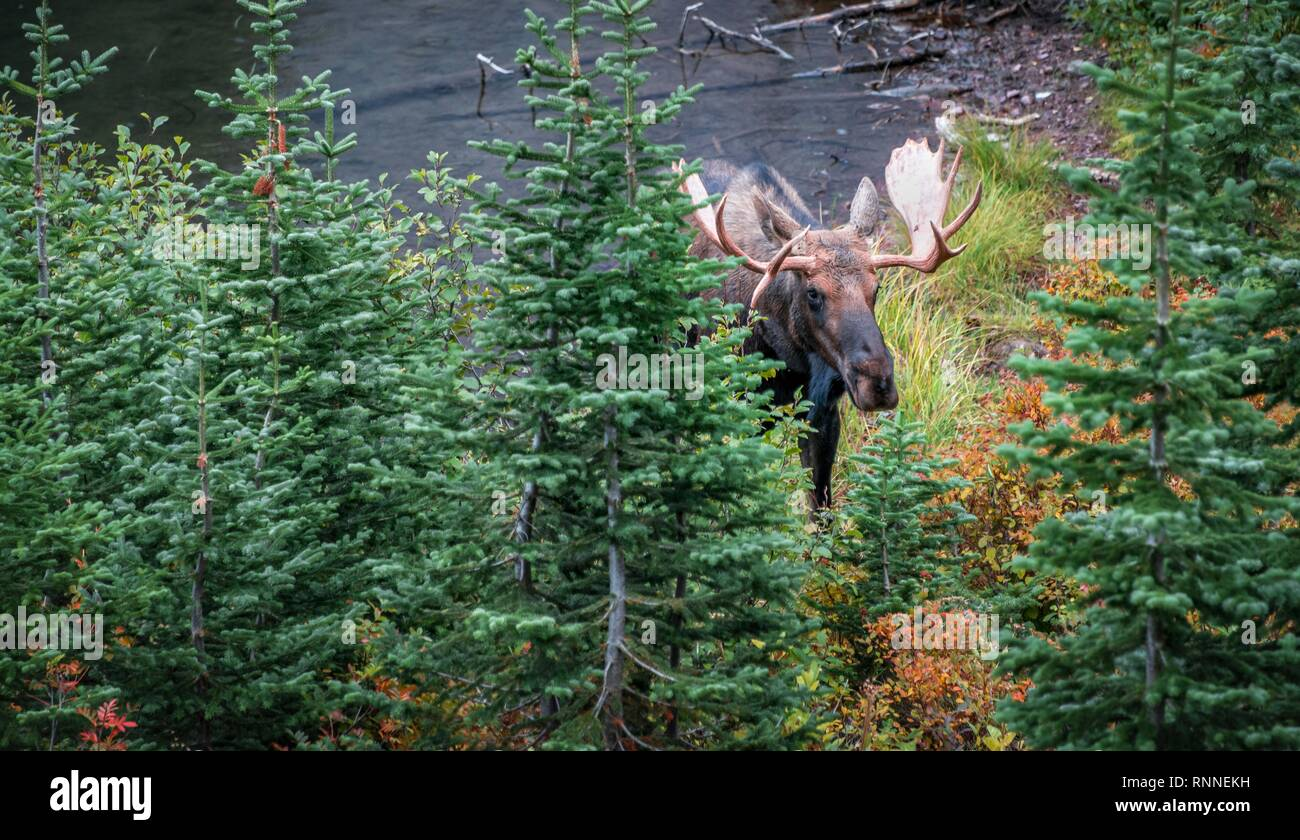 Elk (Alces alces) looks through trees, Upper Two Medicine Lake, Glacier National Park, Montana, USA Stock Photo
