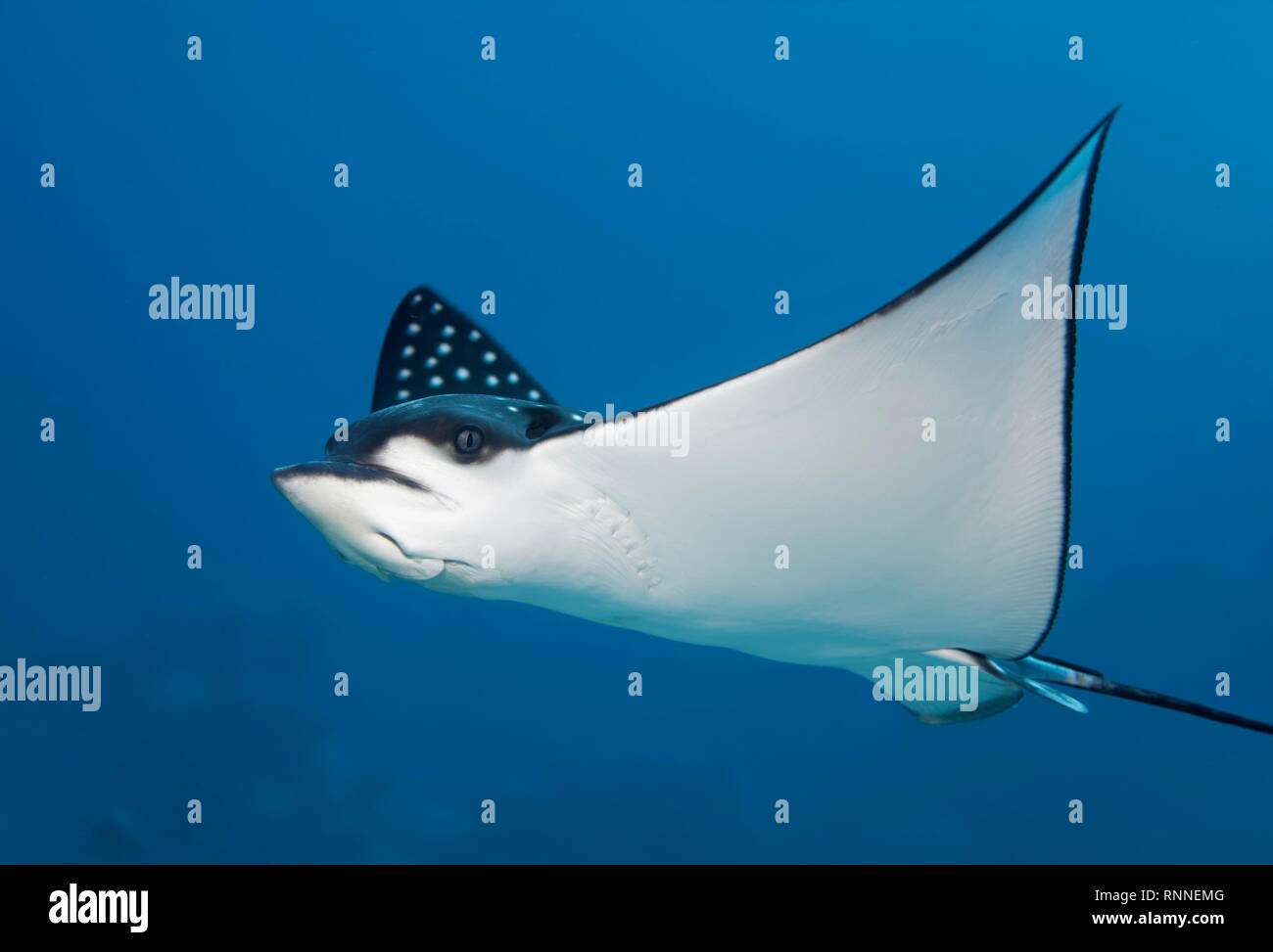 Spotted eagle ray (Aetobatus narinari), swimming in the open