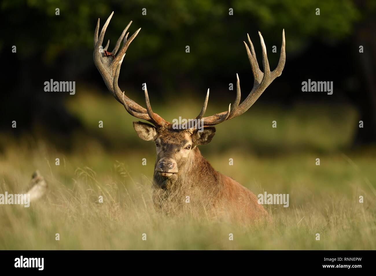 Capitalist red deer (Cervus elaphus), sits in a meadow, Jägersborg, Denmark - Stock Image