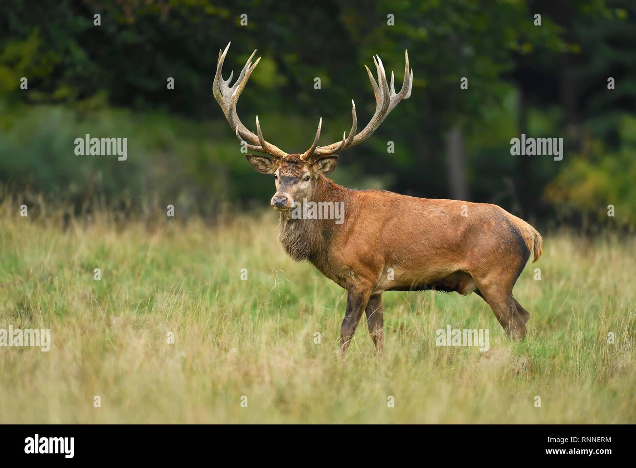 Capitalist red deer (Cervus elaphus), stands at the edge of the forest, Jägersborg, Denmark - Stock Image