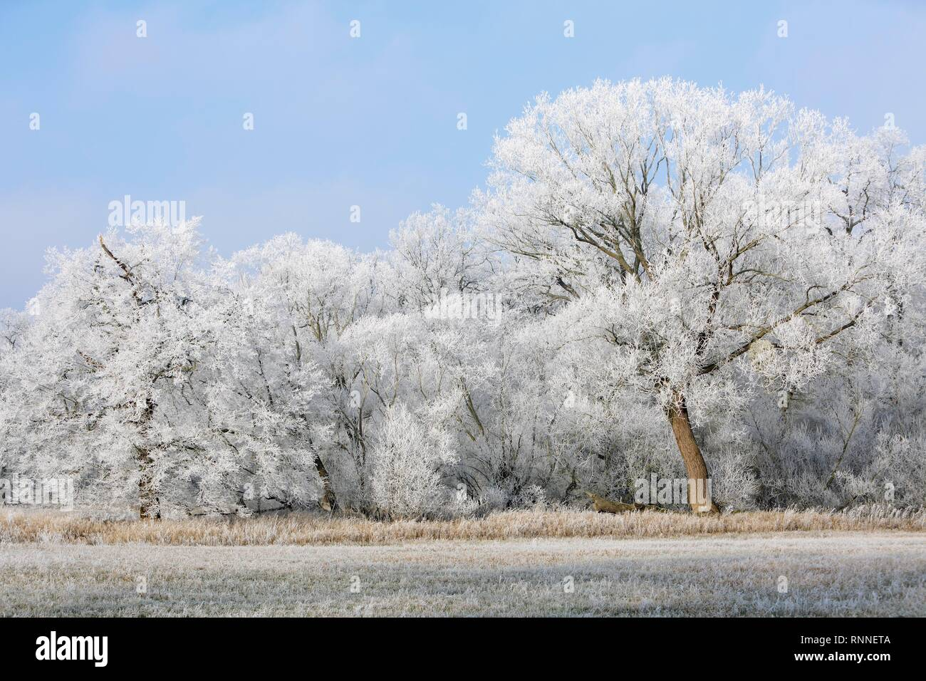 Winter in the Elbaue, deciduous trees covered with hoar frost, Middle Elbe Biosphere Reserve, Saxony-Anhalt, Germany Stock Photo