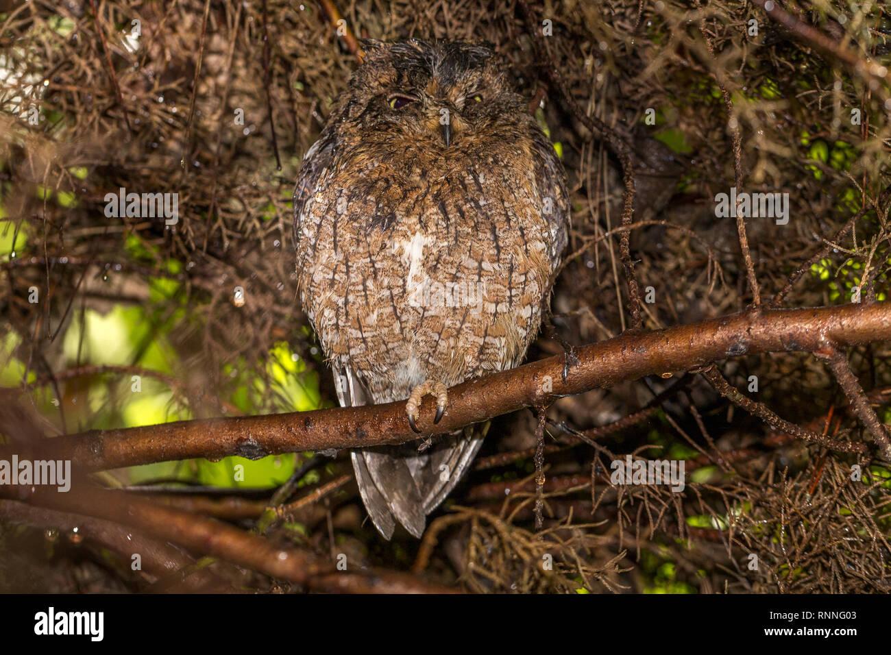 Scops Owl asleep 'Tonga Soa' Reserve Andasibe-Mantadia National Park Madagascar - Stock Image