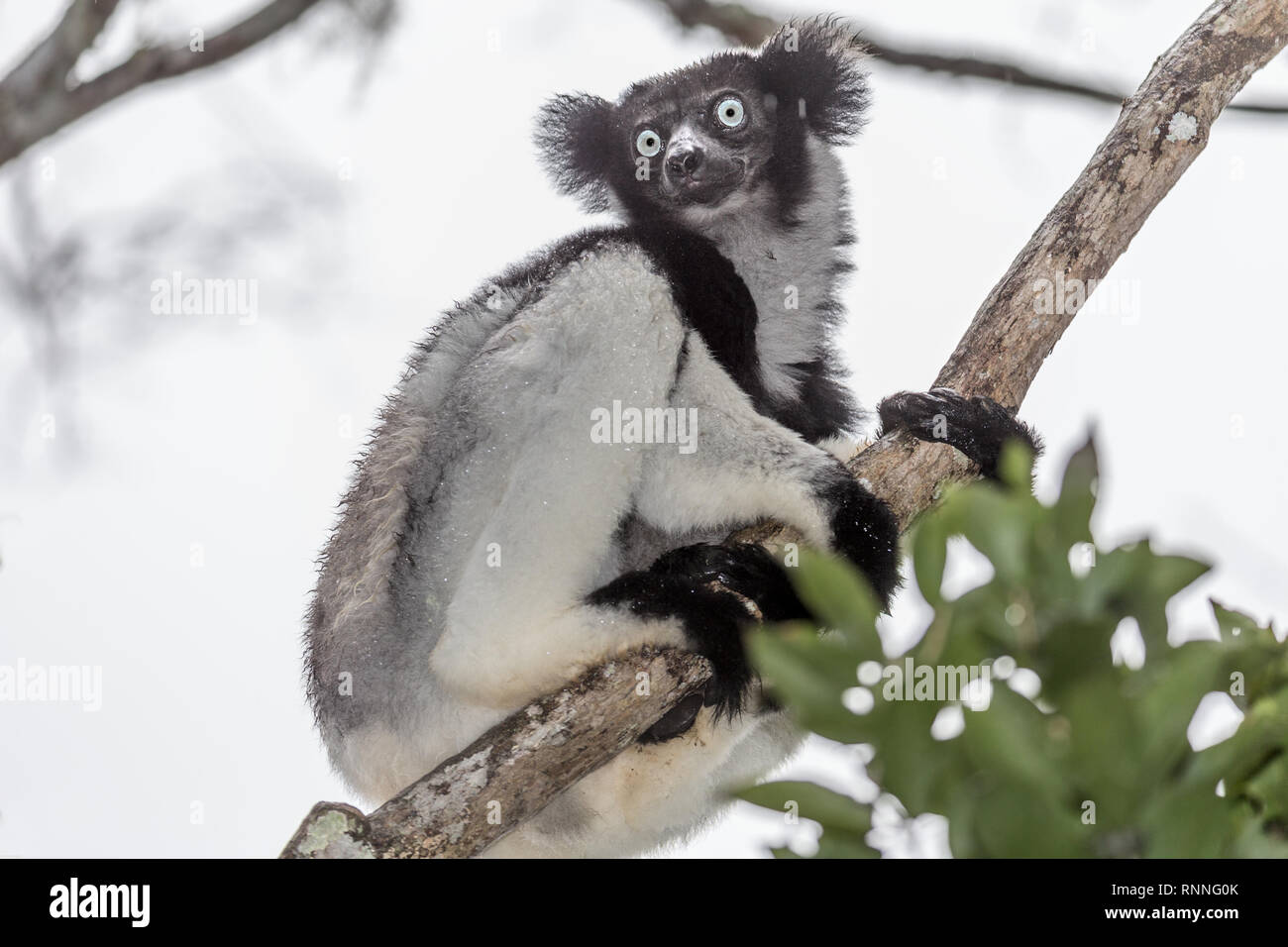 Indri Lemur, aka Babakoto,  Tonga Soa Reserve, Andasibe-Mantadia National Park Madagascar in the rain - Stock Image