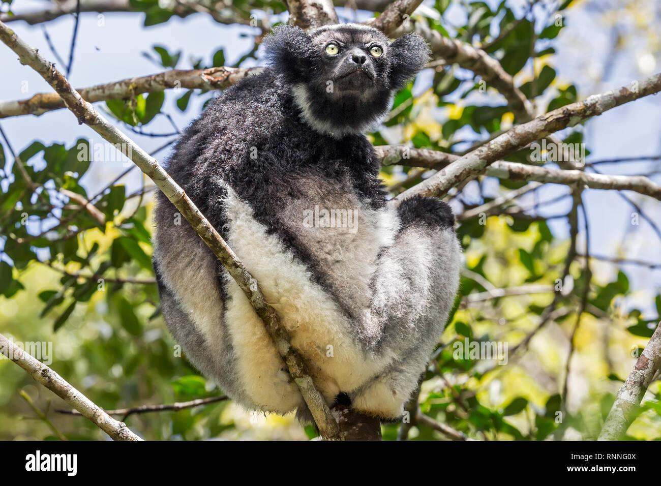 Indri Lemur, aka babakoto, Tonga Soa Reserve, Andasibe-Mantadia National Park Madagascar - Stock Image