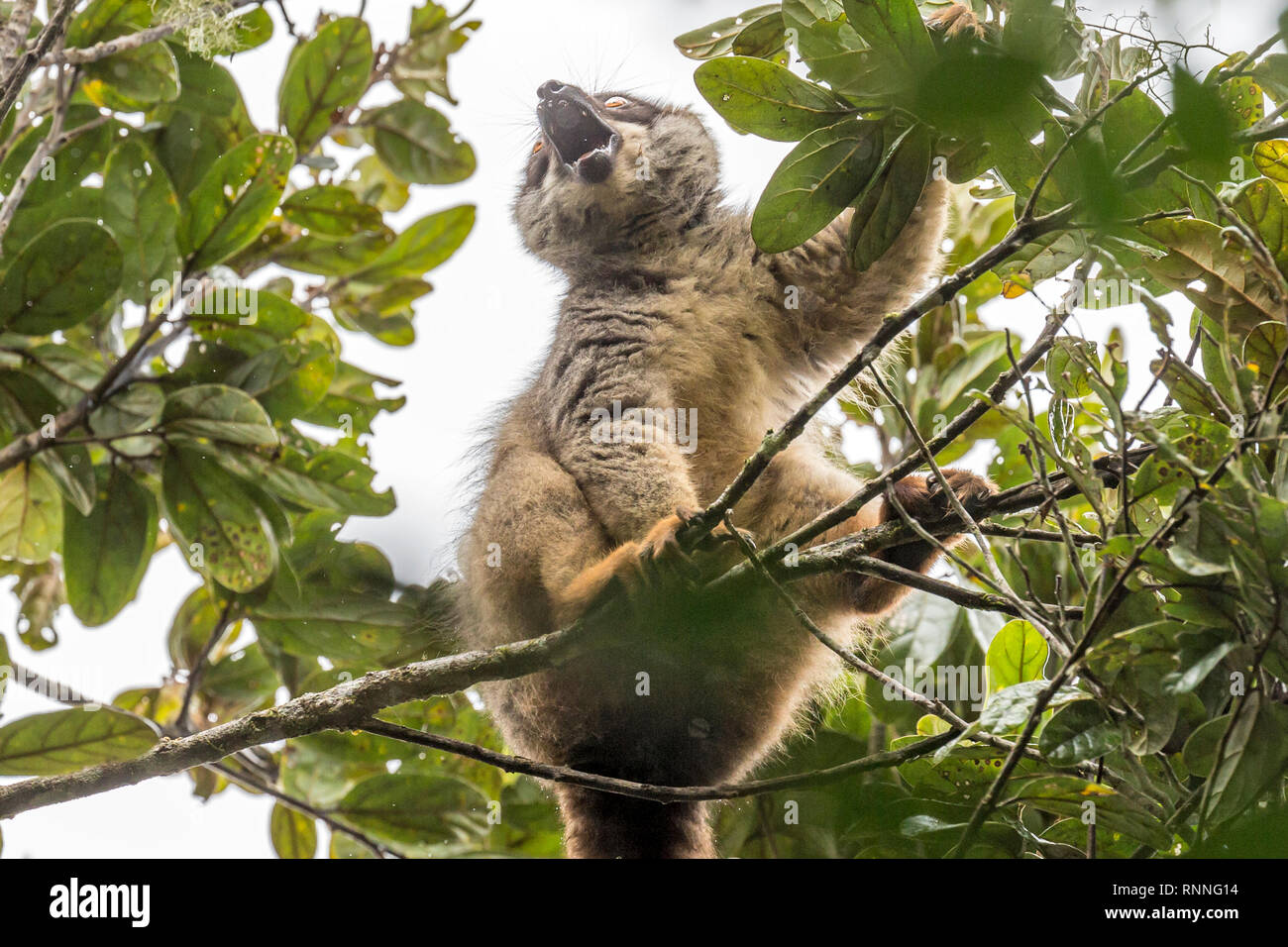 Common Brown Lemur, Eulemur fulvus,  Tonga Soa Reserve, Andasibe-Mantadia National Park, Madagascar, in the rain - Stock Image