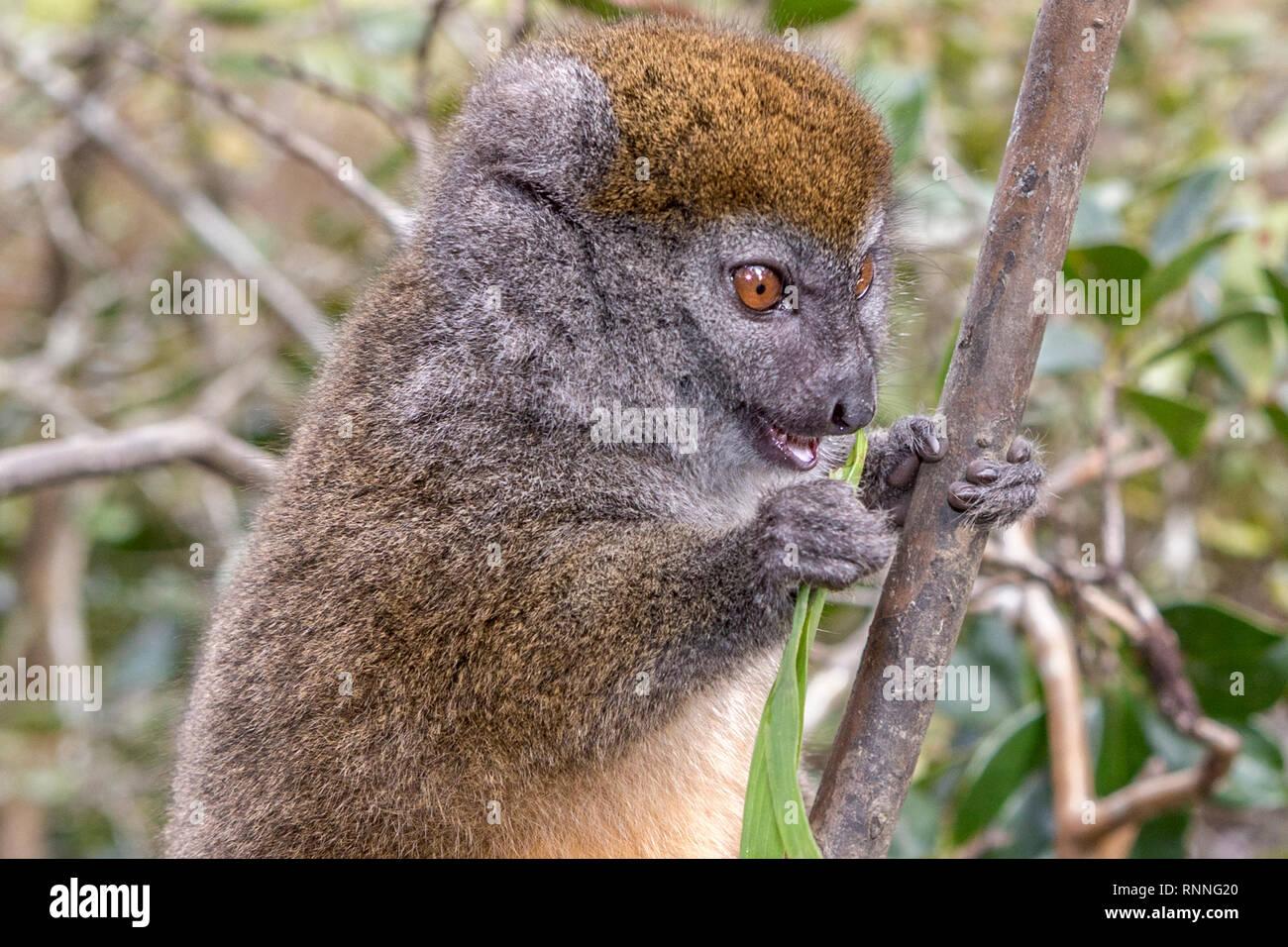 Bamboo Lemur or Gentle lemur, Hapalemur, Lemur Island, Mantandia National Park, Madagascar: eating bamboo leaves - Stock Image