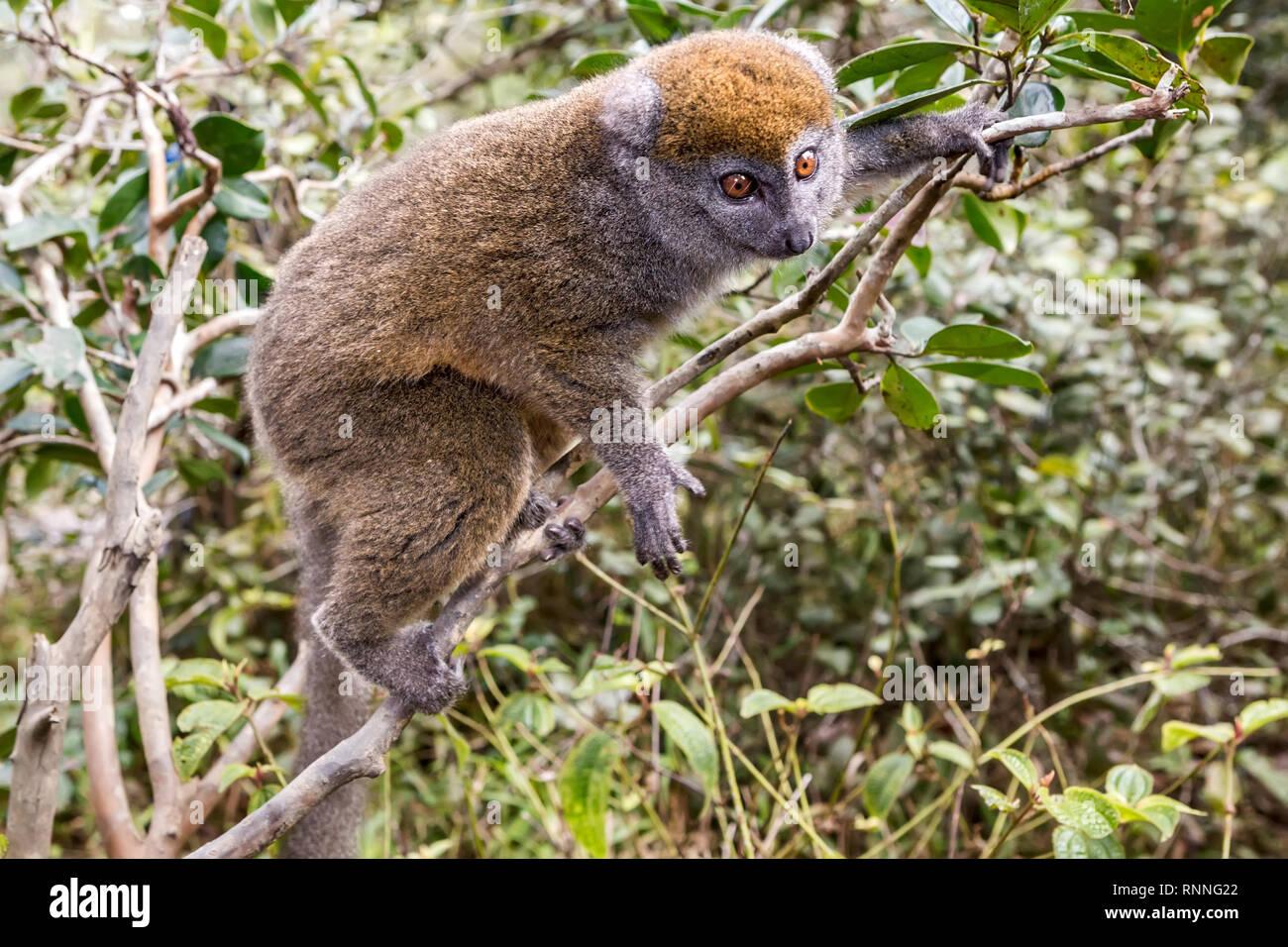 Bamboo Lemur or Gentle lemur, Hapalemur, Lemur Island, Mantandia National Park, Madagascar - Stock Image