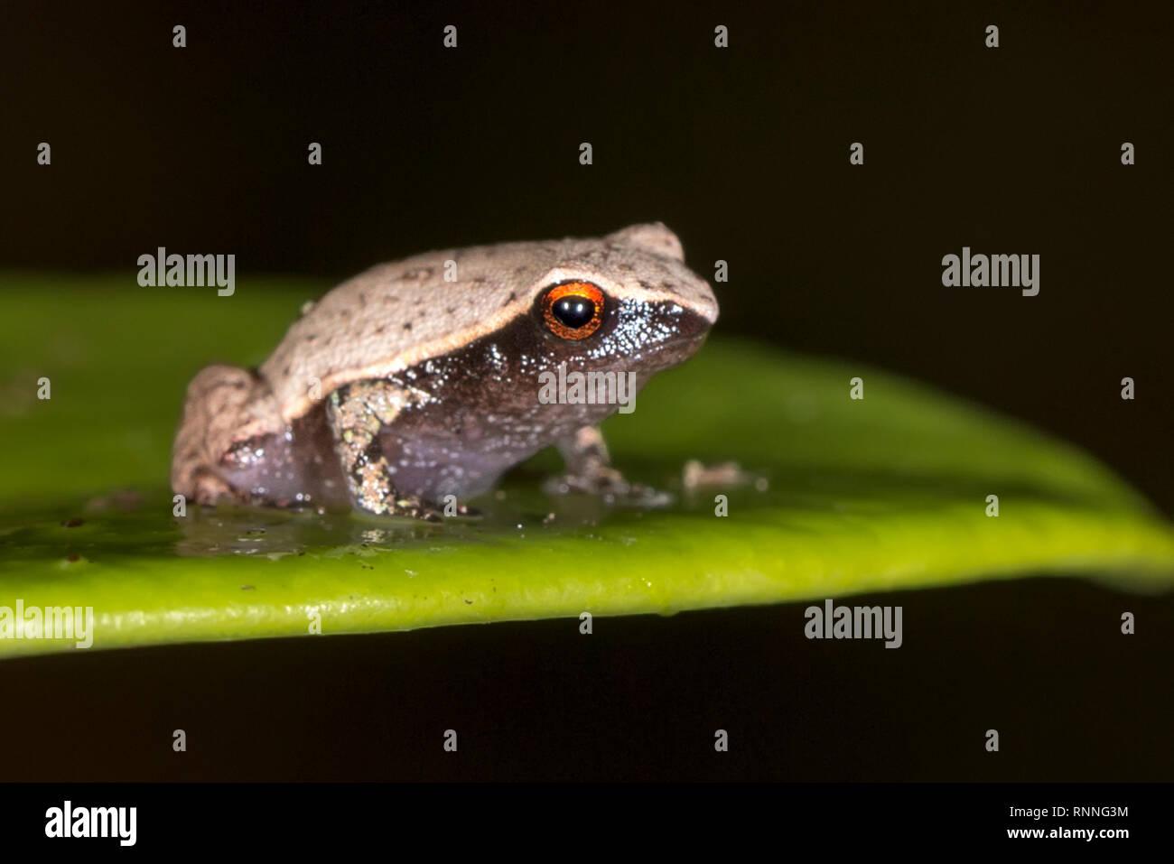 Bright-Eyed Tree Frog,  Boophis madagascariensis, Forest floor Palmarium reserve, Lake Ampitabe, Pangalanes, Madagascar Stock Photo