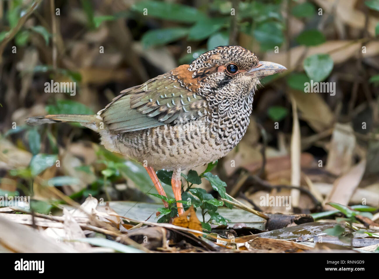 Scaly Ground Roller, Geobiastes squamiger, Ranomafana National Park Madagascar - Stock Image