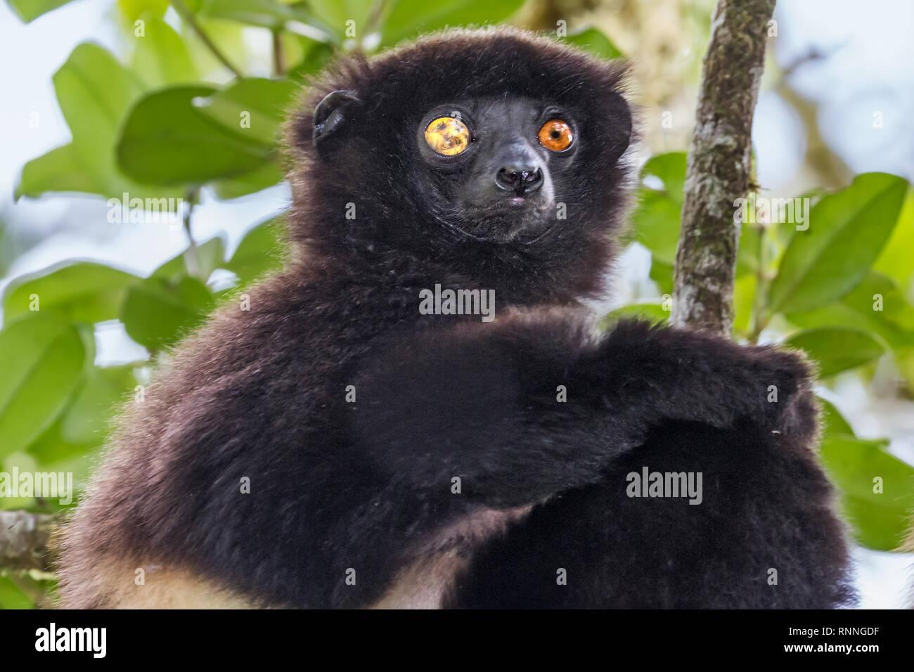 Milne-Edward's Sifika,  lemur, Propithecus edwardsi, Ranomafana National Park, Madagascar. Blind right eye due to trauma - Stock Image