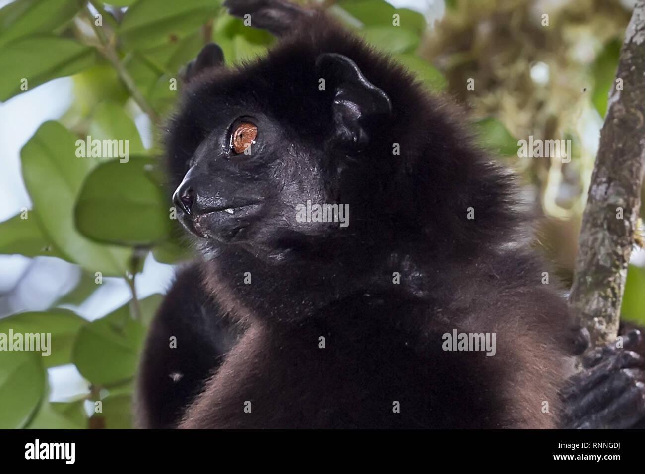 Milne-Edward's Sifika,  lemur, Propithecus edwardsi, Ranomafana National Park, Madagascar - Stock Image