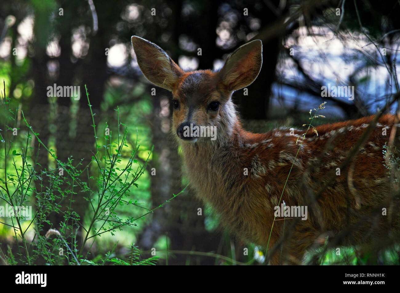 A   Columbian black-tailed deer fawn (Odocoileus hemionus  columbianus) still showing baby spots in the shadows of some nearby trees. - Stock Image