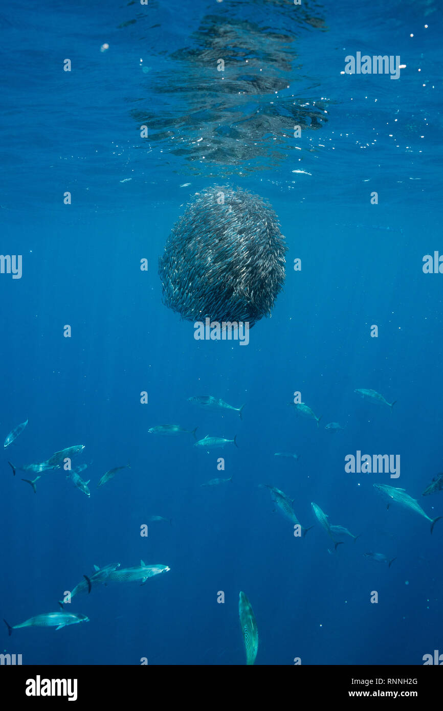 bait ball of schooling anchovies under attack by striped bonito, Sarda orientalis ( small tuna ); fish scales reflect light, Kei Islands, Indonesia - Stock Image