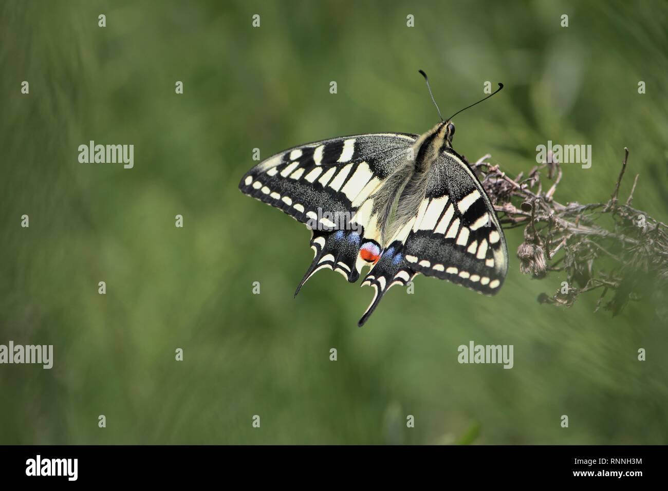 Swallowtail Butterfly (Papilio machaon), near Mellieha, Malta. - Stock Image