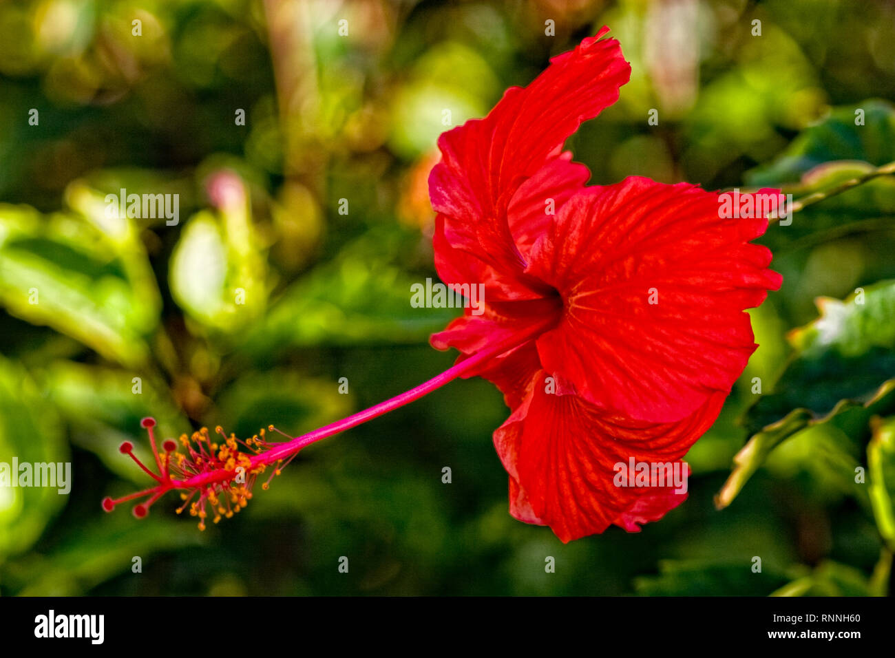 Hibiscus Rosa Sinensis Brilliant Red Stock Photos Hibiscus Rosa