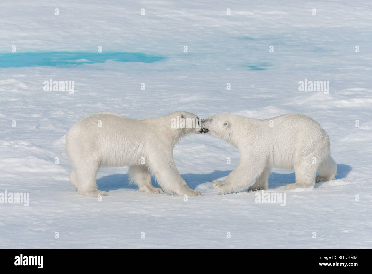 Two young wild polar bear cubs playing on pack ice in Arctic sea, north of Svalbard Stock Photo