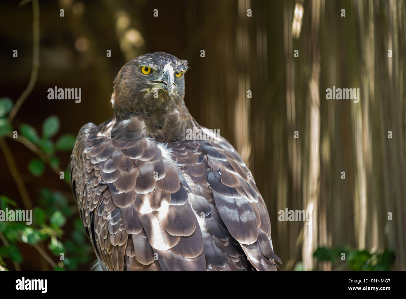 The fierce gaze of a Martial Eagle at the African Raptor Centre, Natal Midlands, South Africa. - Stock Image