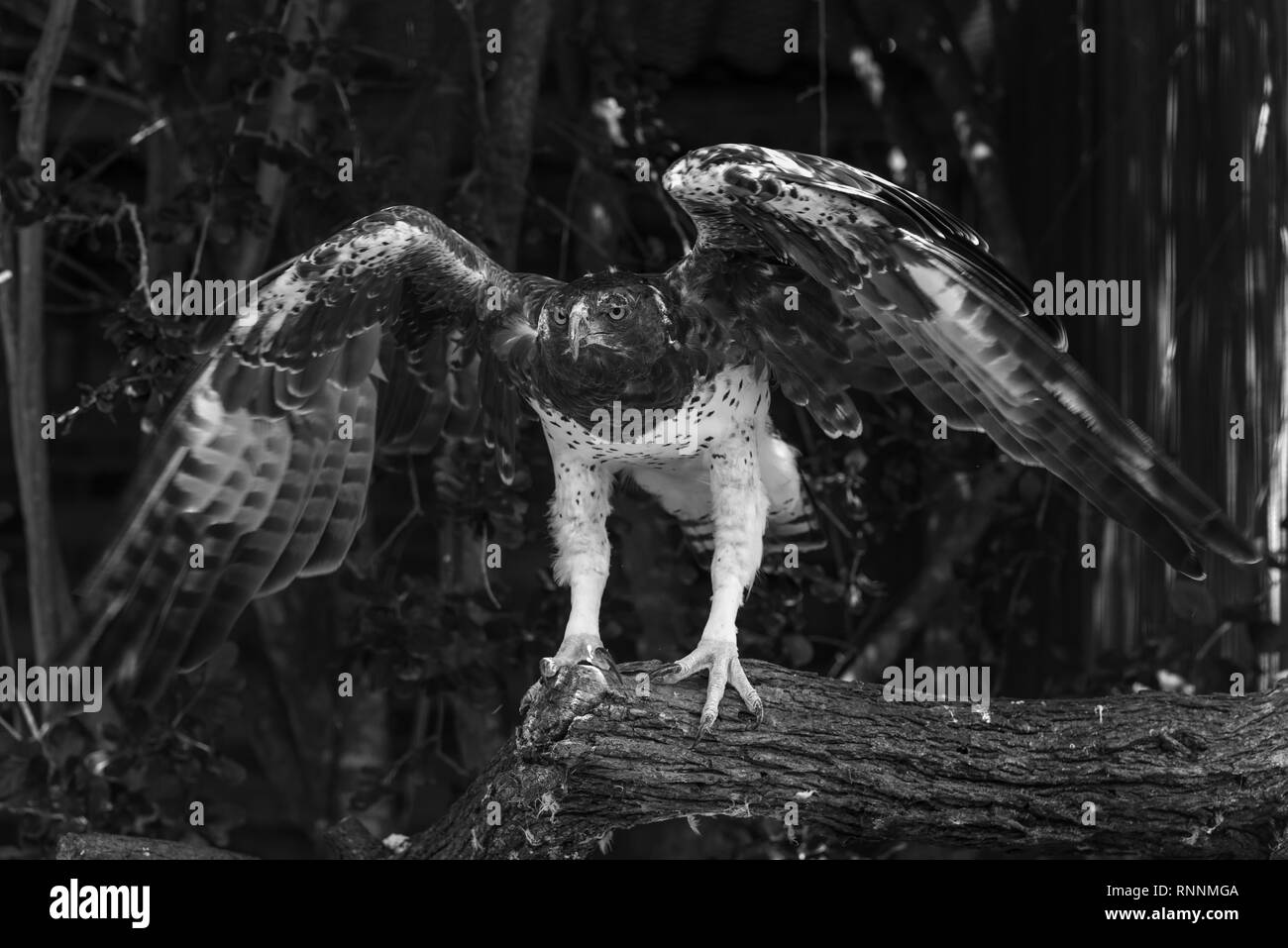 A Martial Eagle flapping it's wings at the African Raptor Centre, Natal Midlands, South Africa. - Stock Image