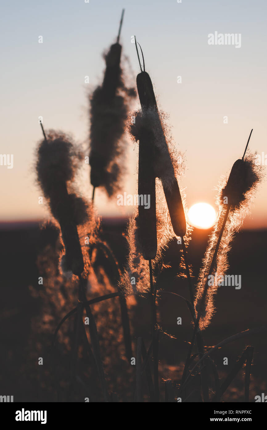Reeds with fluffs at sunset - Stock Image