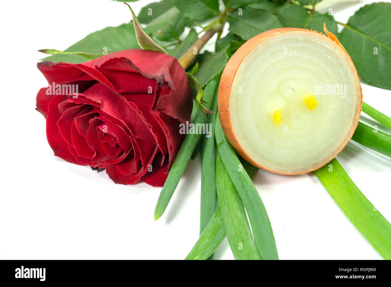 Single fragrant red rose with sliced halved fresh raw brown onion isolated on white with copy space in a different incompatible smells conceptual imag Stock Photo