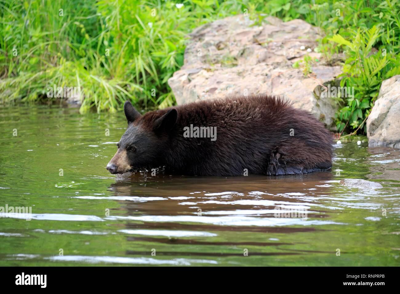 American Black Bear (Ursus americanus), young animal in water, Pine County, Minnesota, USA Stock Photo