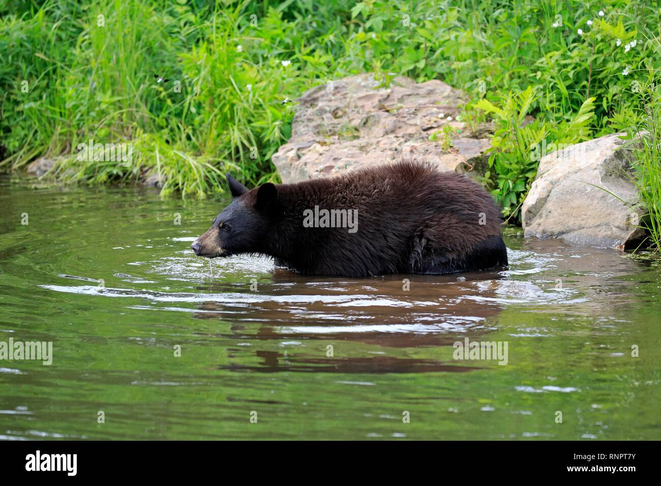 American Black Bear (Ursus americanus), young animal in water, Pine County, Minnesota, USA Stock Photo