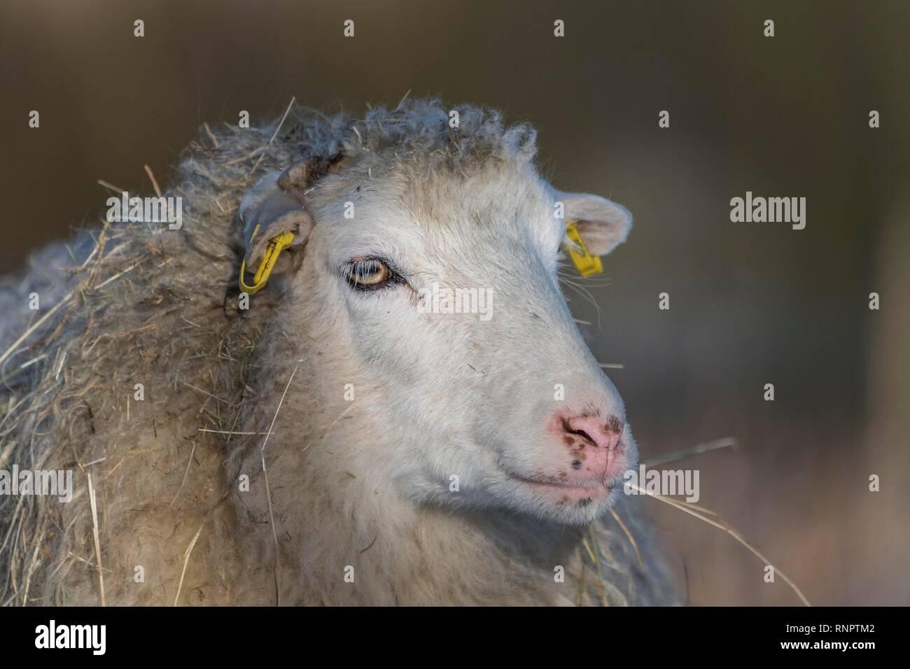 Old domestic sheep breed Skudde in winter, red list, animal portrait, captive, Brandenburg, Germany - Stock Image