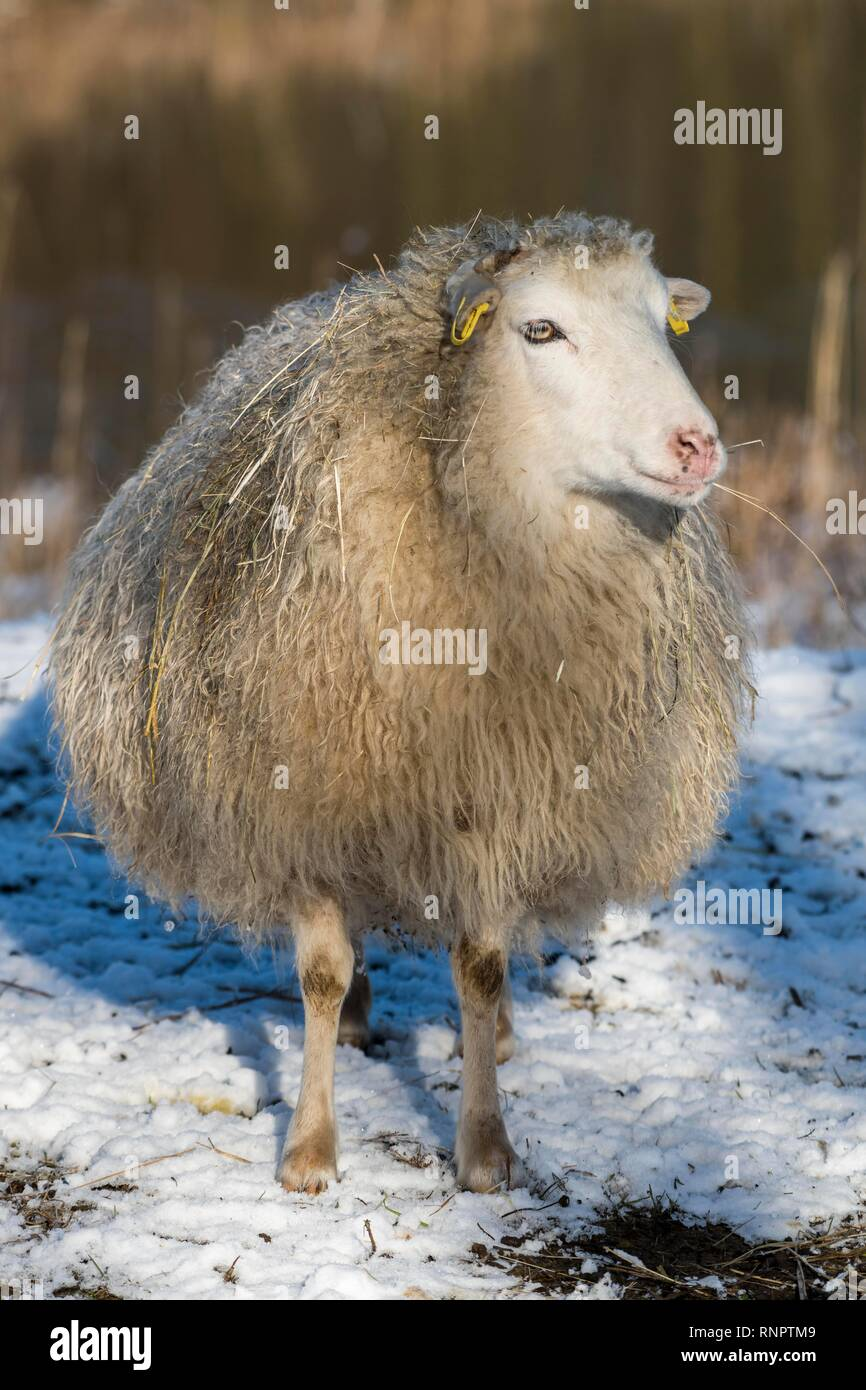 Old domestic sheep breed Skudde in winter, red list, in snow, captive, Brandenburg, Germany - Stock Image