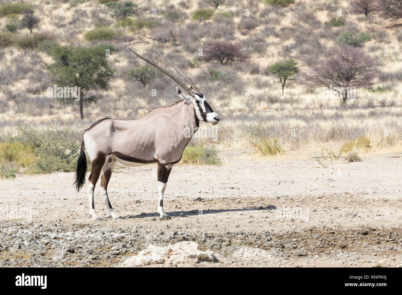 Gemsbok, Oryx gazella, in the Kgalagadi Transfrontier, National Park, Northern Cape, South Africa. Standing at seepage water in arid Savannah with aca - Stock Image