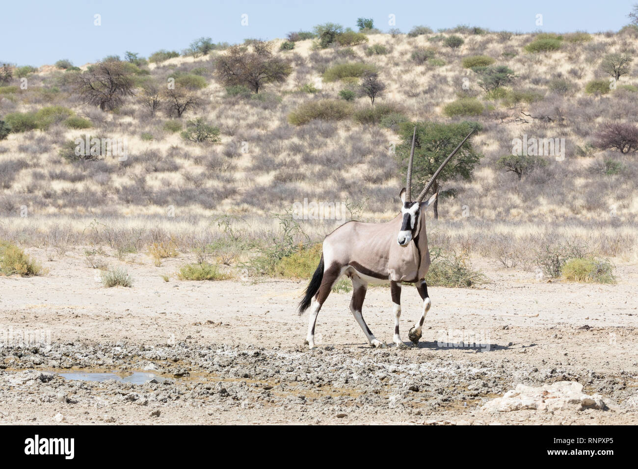Gemsbok, Oryx gazella, in the Kgalagadi Transfrontier, National Park, Northern Cape, South Africa, female standing at seepage water in dunes , savanna - Stock Image
