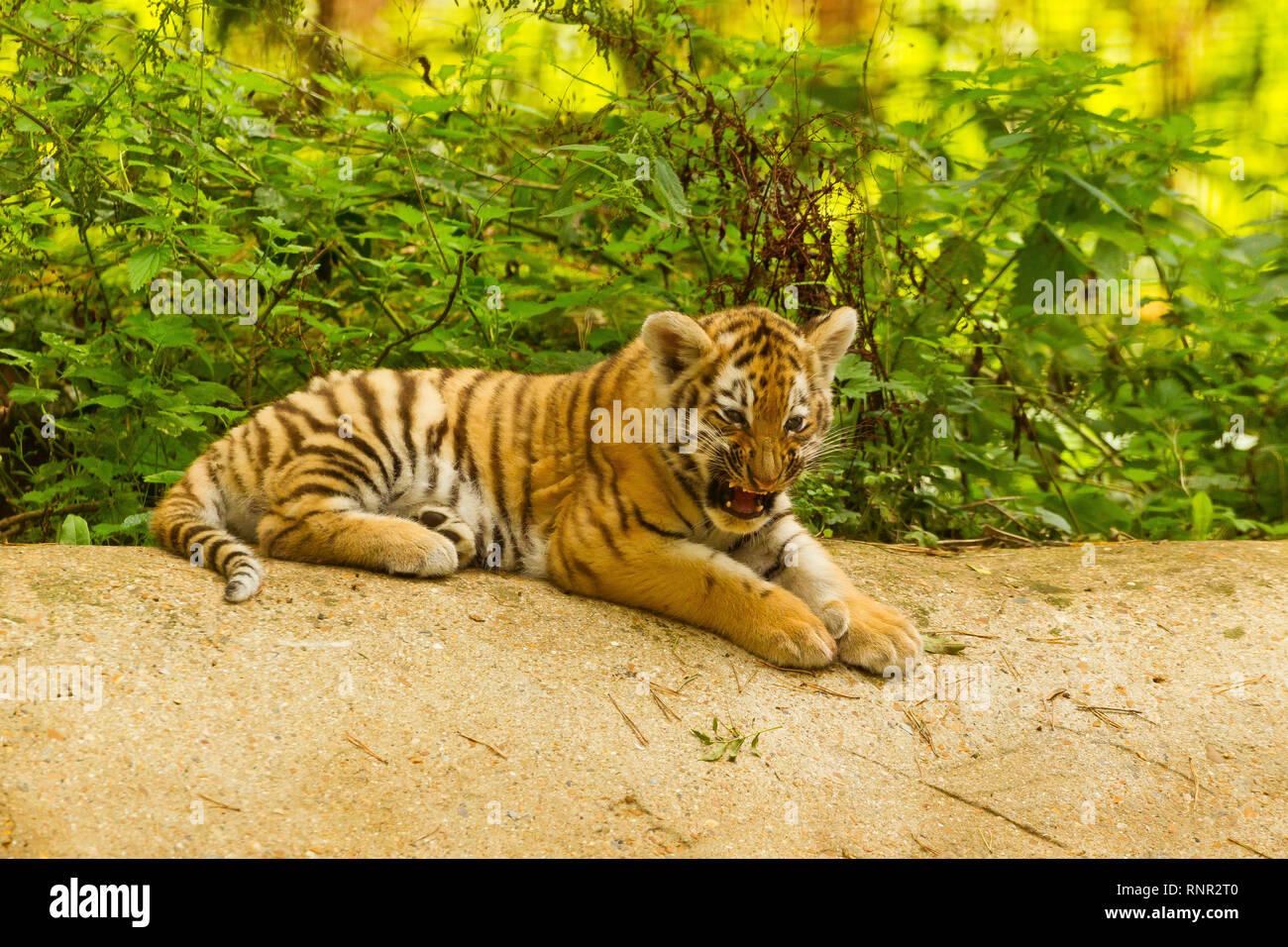 Siberian/Amur Tiger Cub (Panthera Tigris Altaica) Lying Down Snarling - Stock Image