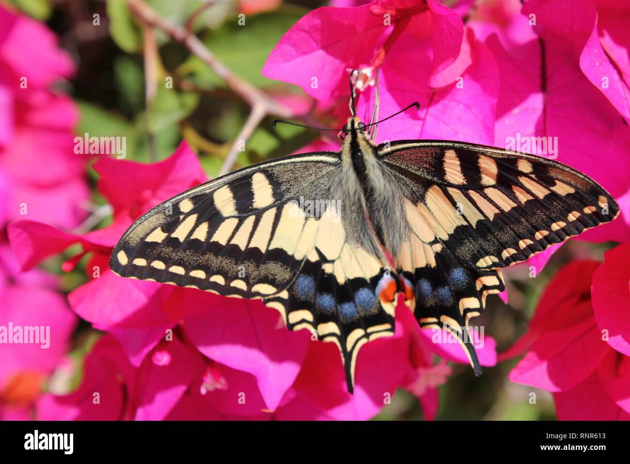 Swallowtail Butterfly (Papilio machaon), visiting the purple flowers of a Bougainvillea shrub near Mellieha, Malta - Stock Image