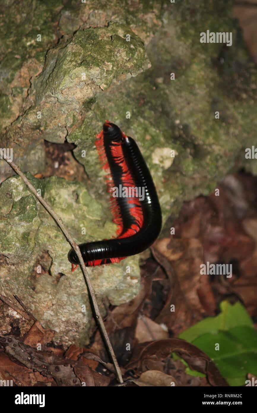Giant African Millipede (Archispirostreptus gigas), Kaya Kinondo, Kenya - Stock Image
