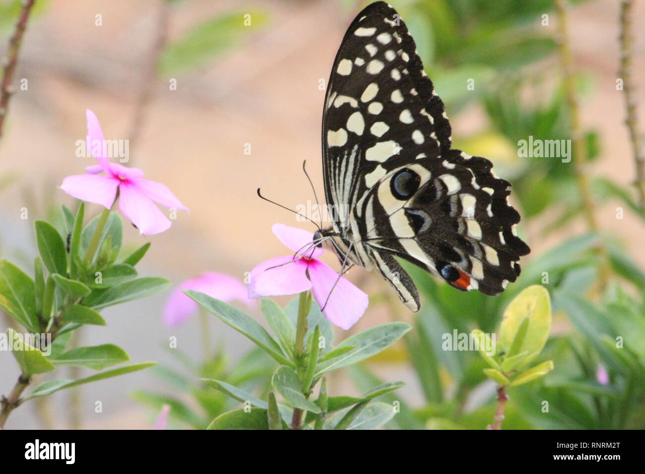 Citrus Swallowtail (Papilio demodocus) - Stock Image