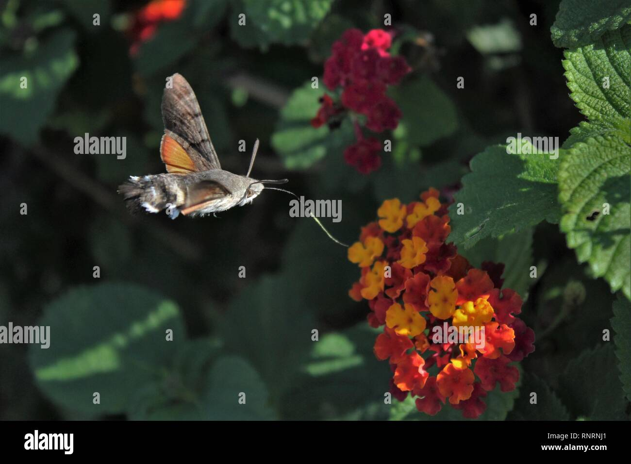 Hummingbird Hawk-moth (Macroglossum stellatarum), feeding on flowers of Tickberry (Lantana camara) at Mellieha, Malta - Stock Image