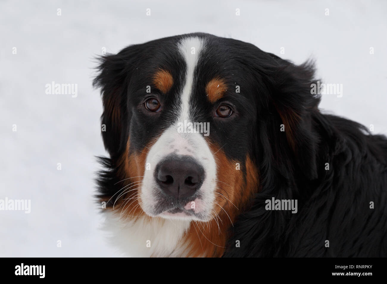 Cute Puppy Berner Sennenhund Is Looking At The Camera