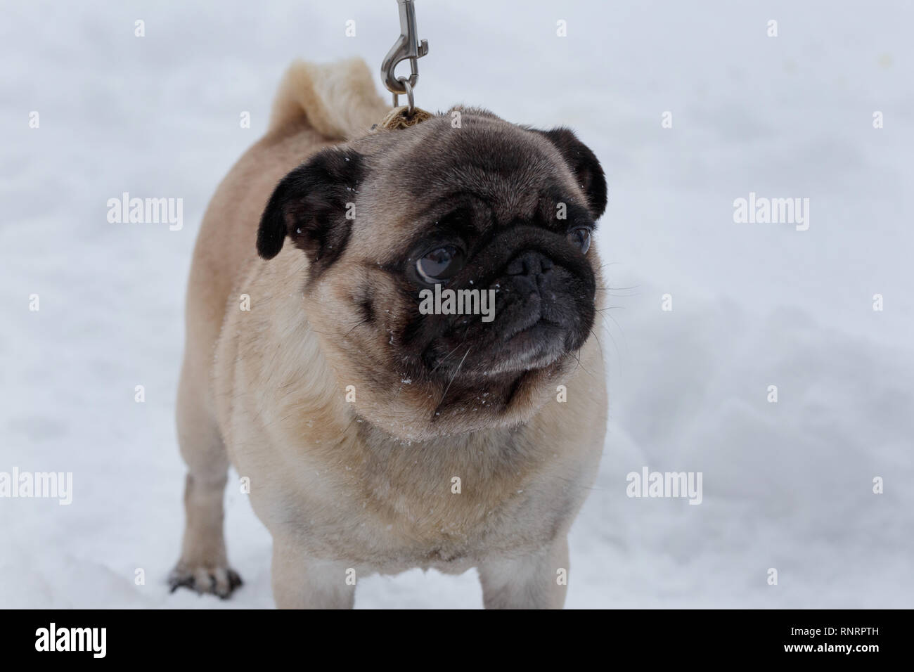 Chinese pug puppy is standing on the white snow. Dutch mastiff or mops. Pet animals. Purebred dog. - Stock Image