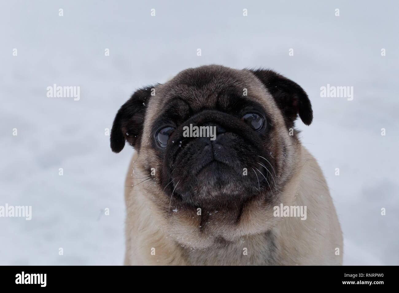 Cute chinese pug puppy is looking at the camera. Dutch mastiff or mops. Pet animals. Purebred dog. - Stock Image