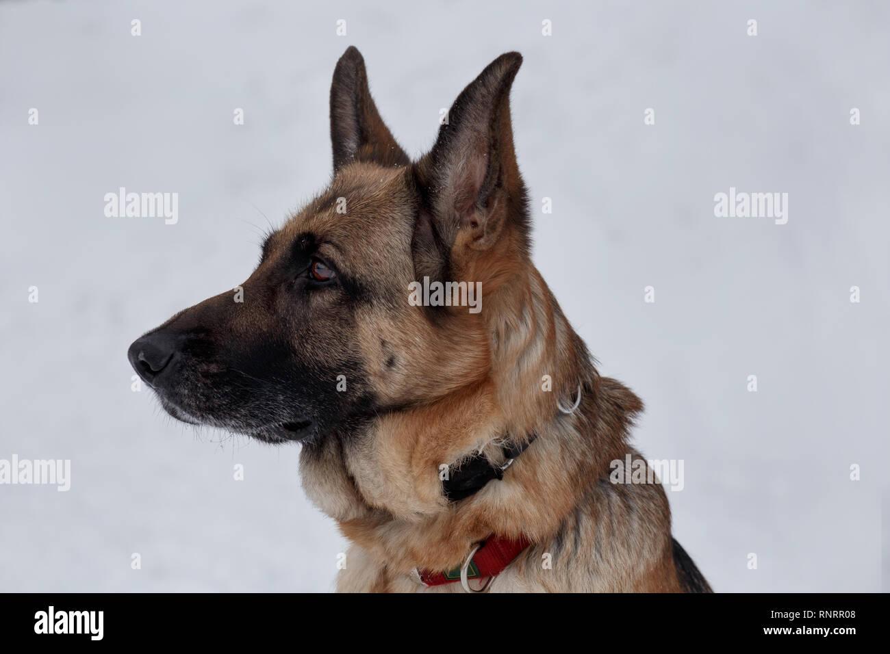 German shepherd with black mask close up. Pet animals. Purebred dog. - Stock Image