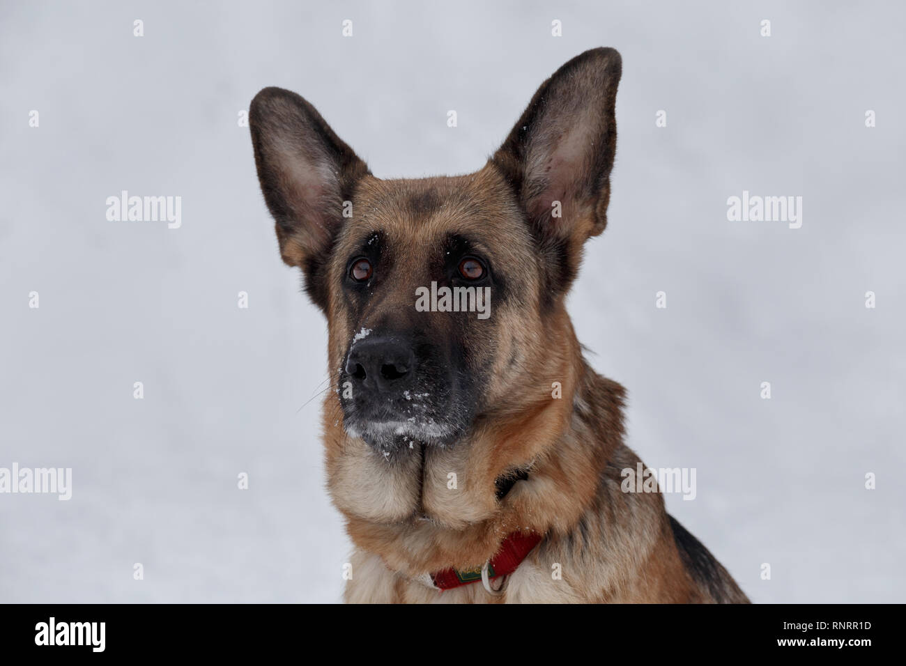 Cute german shepherd with black mask is looking at the camera. Pet animals. Purebred dog. - Stock Image