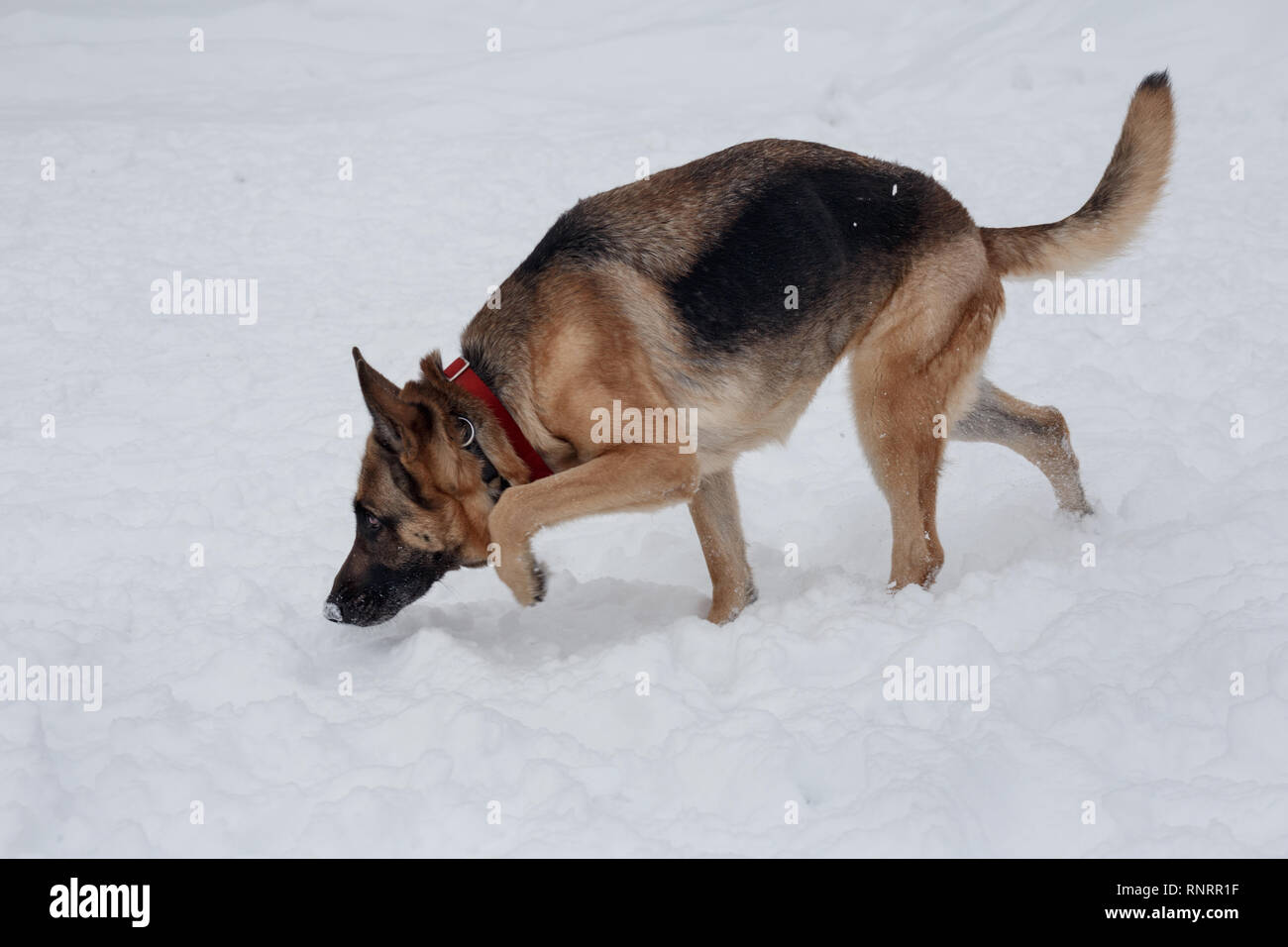 German shepherd is sniffing footprints in the snow. Pet animals. Purebred dog. - Stock Image