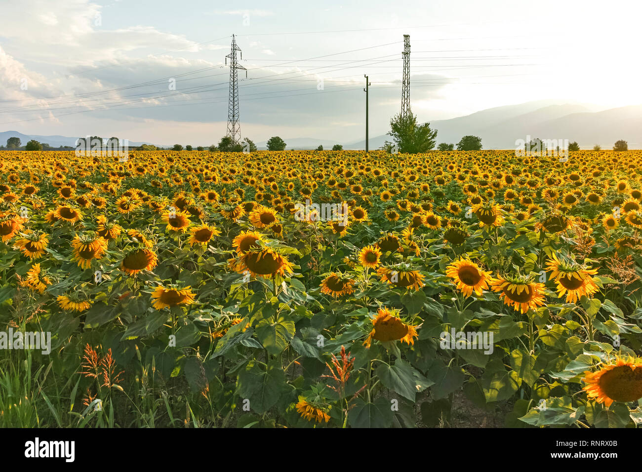 Sunset landscape of sunflower field at Kazanlak Valley, Stara Zagora Region, Bulgaria - Stock Image