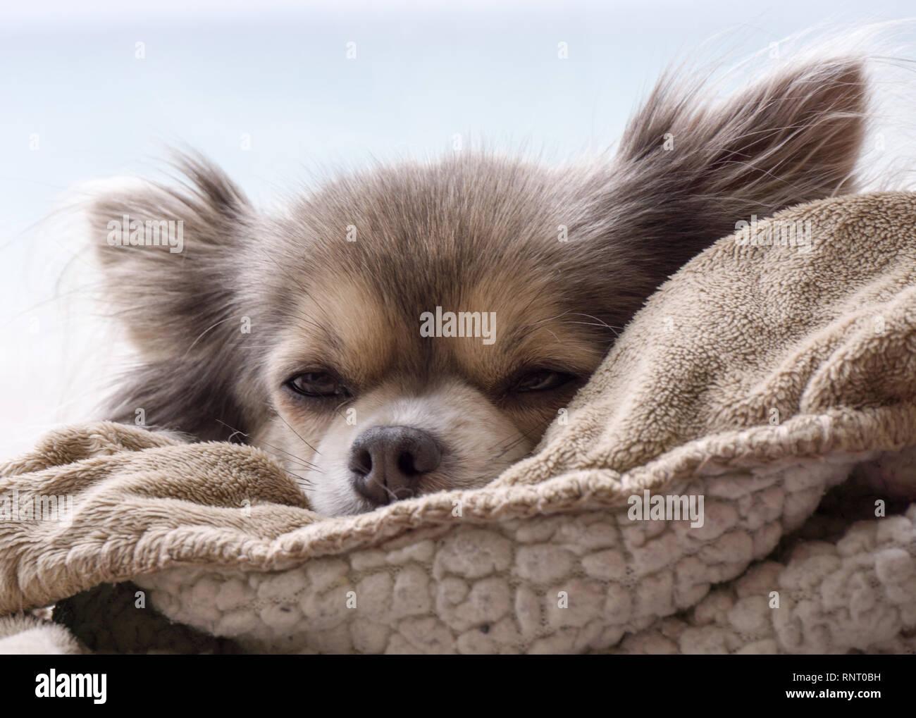 Beautiful snoozing long haired Chiwawa - Stock Image