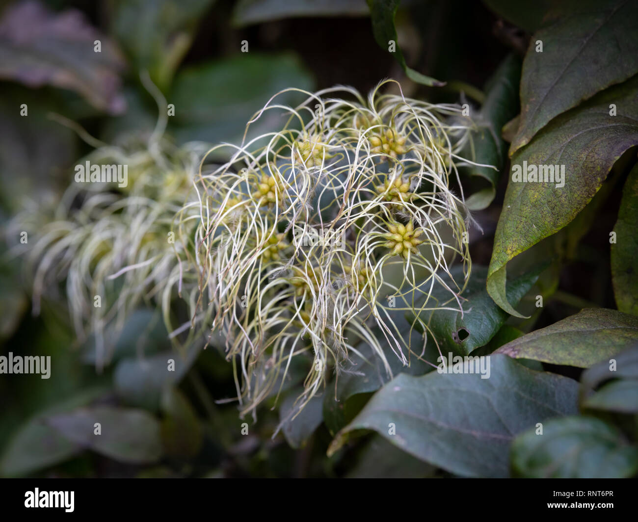 Fruits of an old man's beard plant (Clematis vitalba) in autumn - Stock Image