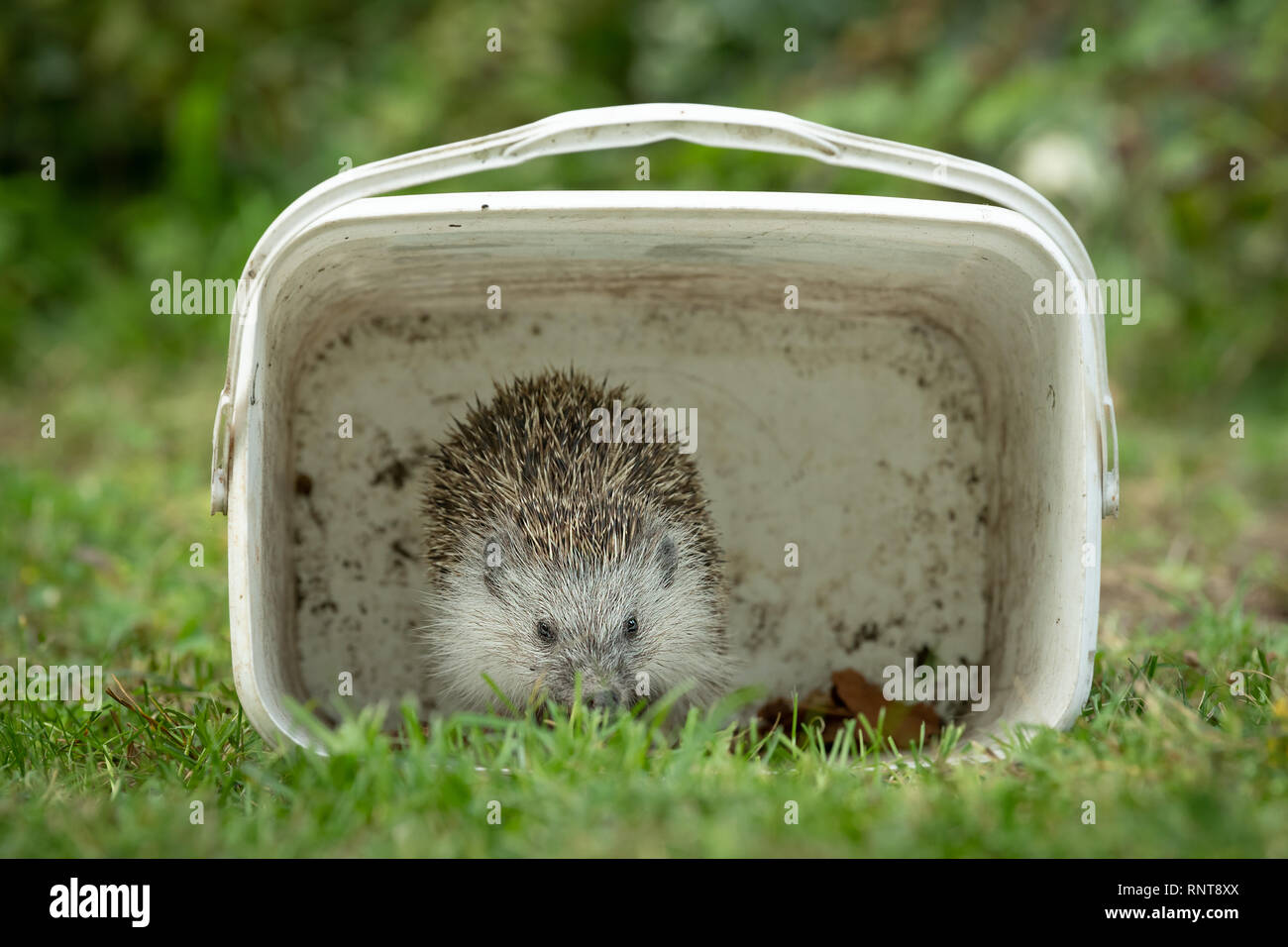 Portrait of a hedgehog hiding in a white box in a green meadow in autumn Stock Photo