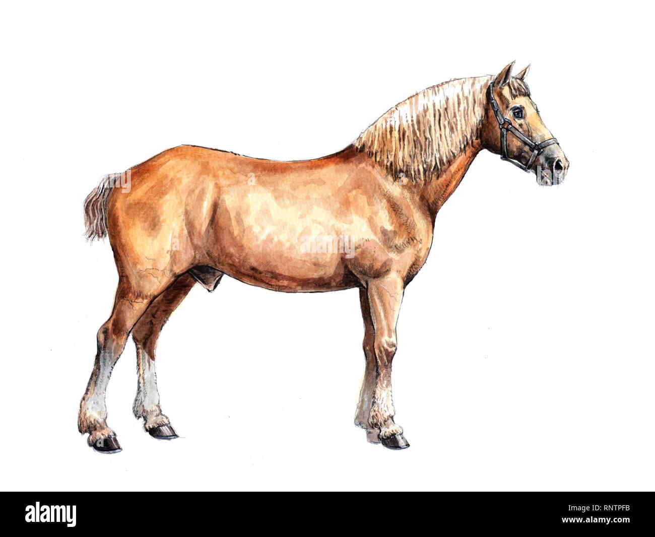Draft Horse Illustration Horse Portrait Watercolor Painting Stock Photo Alamy