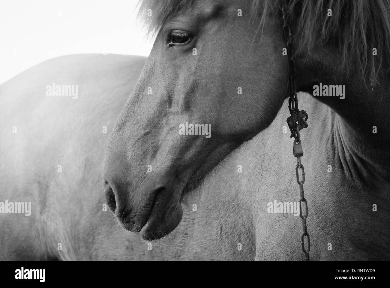Portrait of a horse with chain. Black and white photo. - Stock Image
