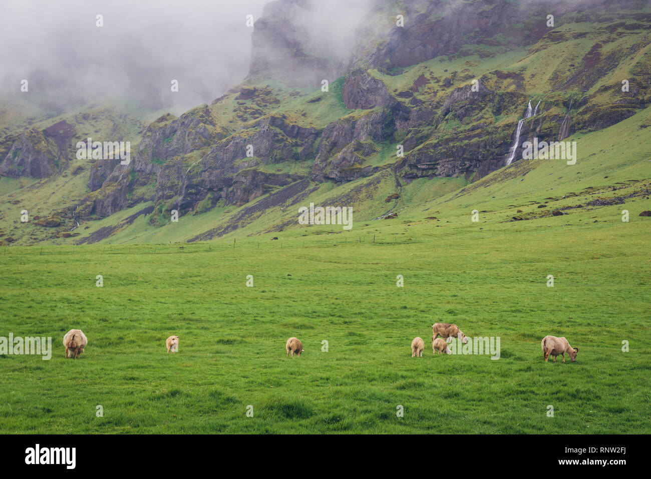 Sheeps on a pasture in Iceland - Stock Image