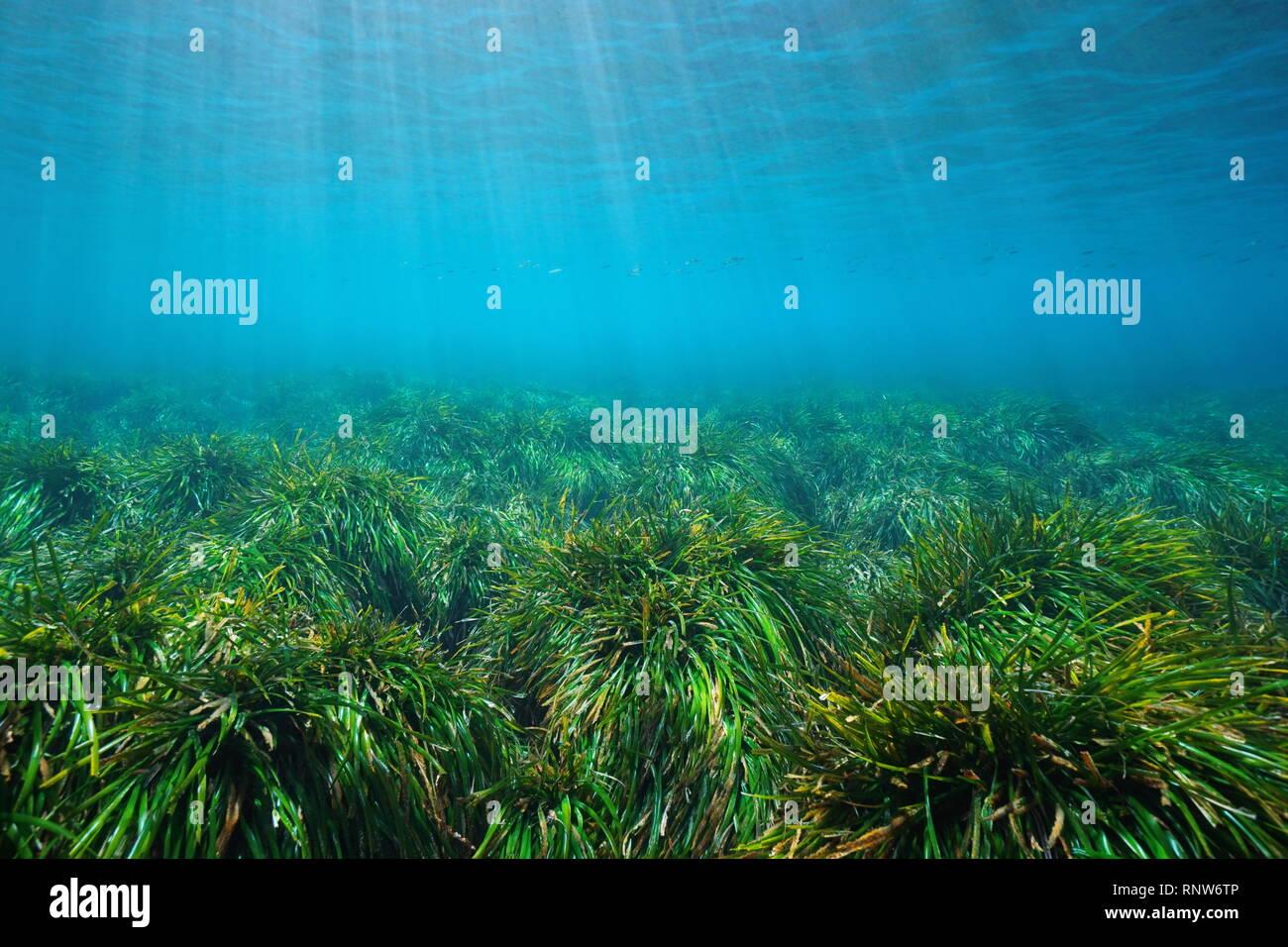 Grassy seabed underwater in the Mediterranean sea, neptune grass Posidonia oceanica, Cabo de Gata Nijar, Almeria, Andalusia, Spain - Stock Image