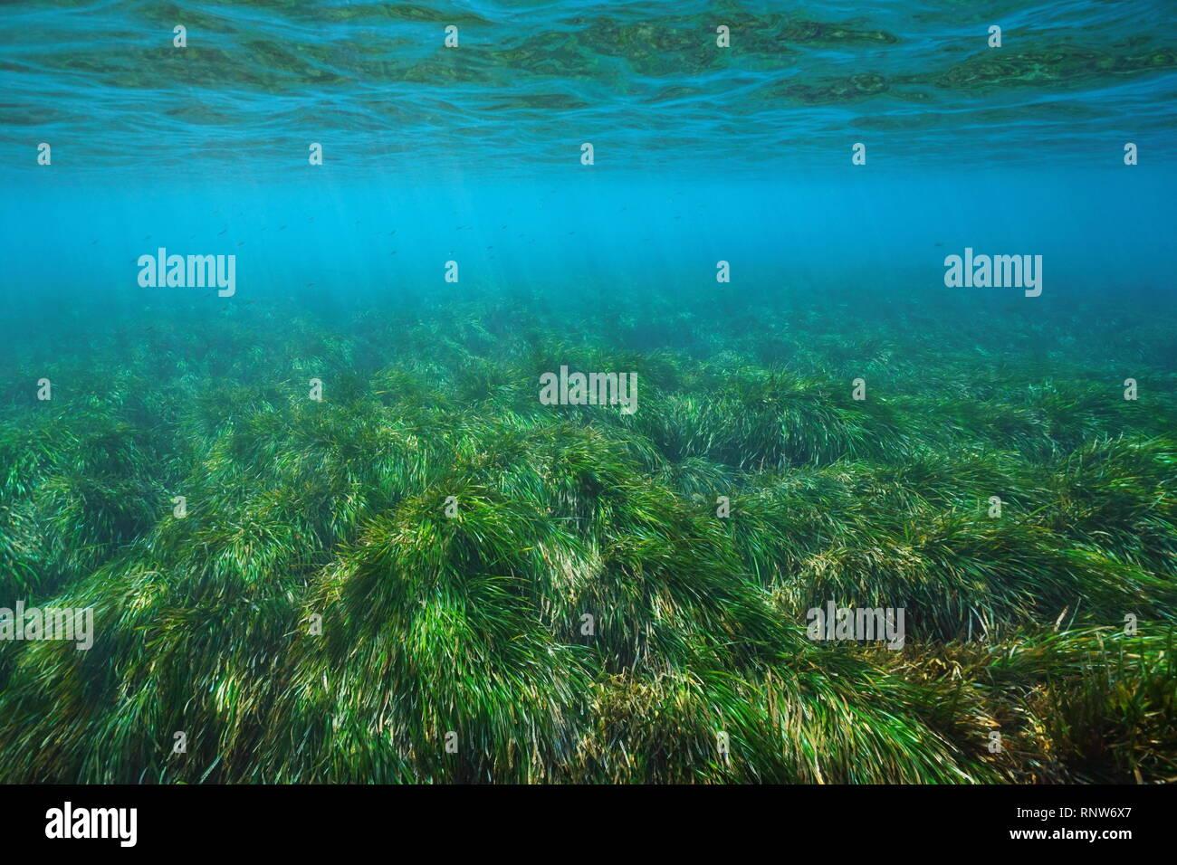 Posidonia oceanica seagrass underwater in the Mediterranean sea, Cabo de Gata Nijar, Almeria, Andalusia, Spain - Stock Image